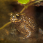 American toad, wild frog, free animal stock photo, free-download picture, royalty-free image