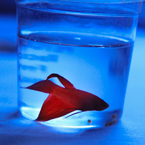 betta fish, pet fish, red fish, free stock photo, free image, royalty-free picture