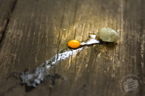 broken egg, sparrow's egg, bird's egg, tiny egg, egg yolk, eggshell, animal photos, wood plank, wood texture, free foto, free photo, stock photos, free images, royalty-free image, stock pictures for free, free stock picture, images free download, stock photography, free stock images