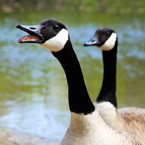 Canada goose, wild bird, free animal stock photo, royalty-free image
