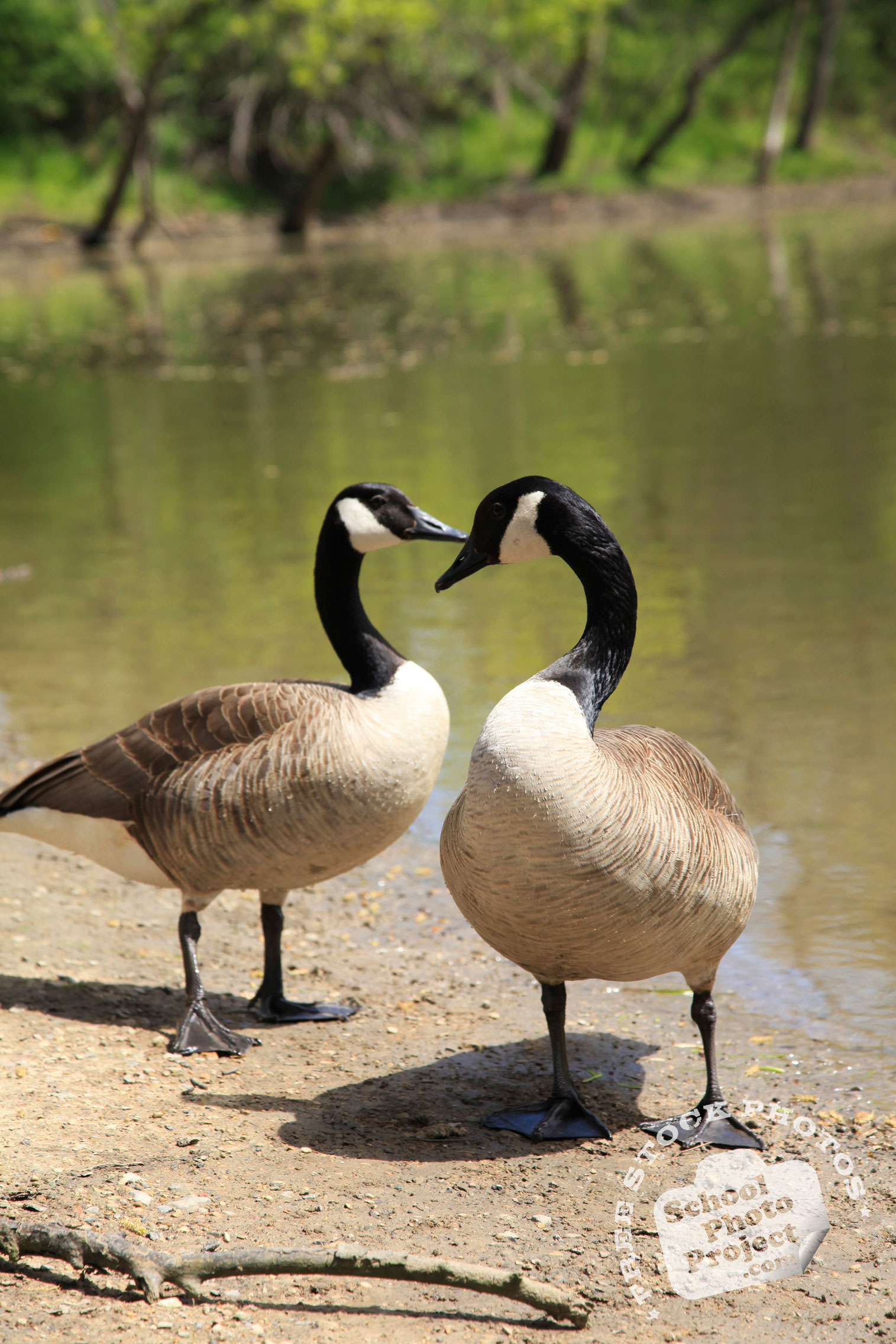canada goose free stock photo geese in heart shape royalty free