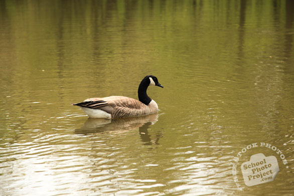 Canada goose, female goose, swimming goose, wild bird, free animal stock photo, royalty-free image