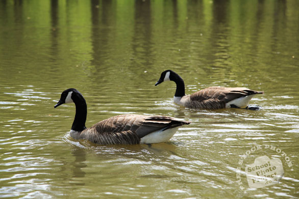 Canada goose, male female geese, swimming goose, wild bird, free animal stock photo, royalty-free image