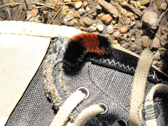 caterpillar, woolly bear caterpillar, hairy caterpillar, insects, free foto, free photo, picture, image, free images download, stock photography, stock images, royalty-free image