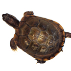 tortoise, turtle, pet turtle, pet, animal, photo, free photo, stock photos, royalty-free image