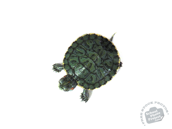 turtle, turtle photo, red-eared slider turtle, pet turtle, pet, animal, photo, free photo, stock photos, royalty-free image
