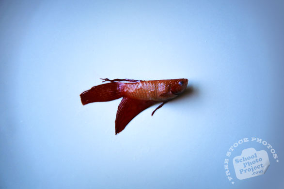 betta fish, pet fish, dead betta, free animal stock photo, royalty-free image