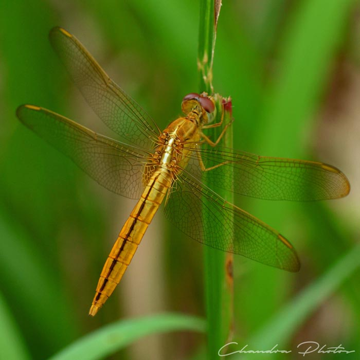 dragonfly, dragonfly rests on grass leaf, insect, macro photography, green leaves, free insect stock photo, royalty-free image, Chandra Photos
