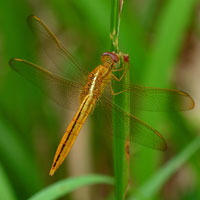 dragonfly, insect, macro photography, free photo, stock photo, free picture, royalty-free image