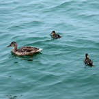 duck, duck family, ducklings, mother duck, wild ducks photo, bird picture, animal photo, free photo, stock photos, royalty-free image, free download image, stock images for free, stock photography images