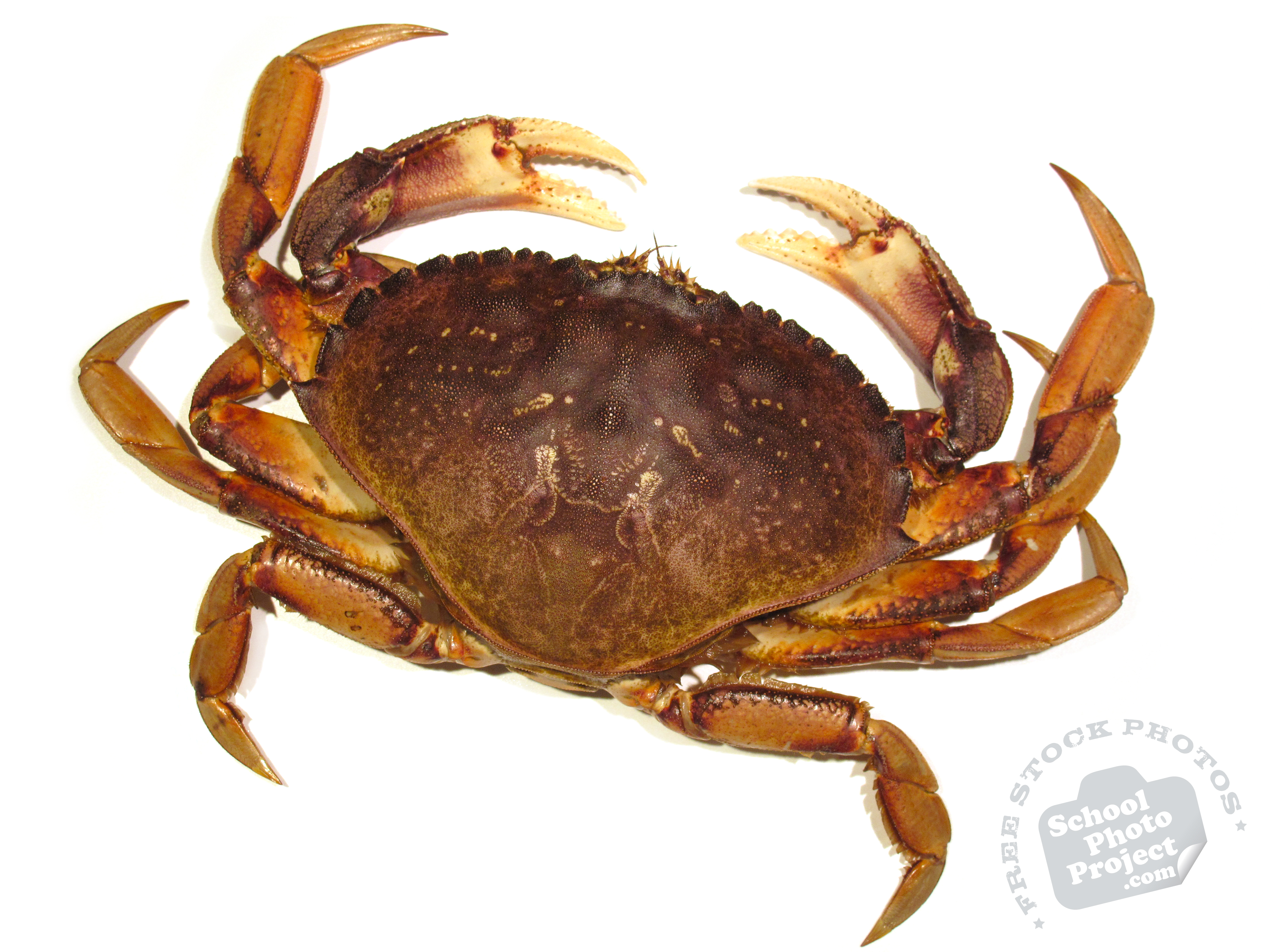 Crab, FREE Stock Photo, Image, Picture: Dungeness Crab, Royalty-Free Animal Stock Photography