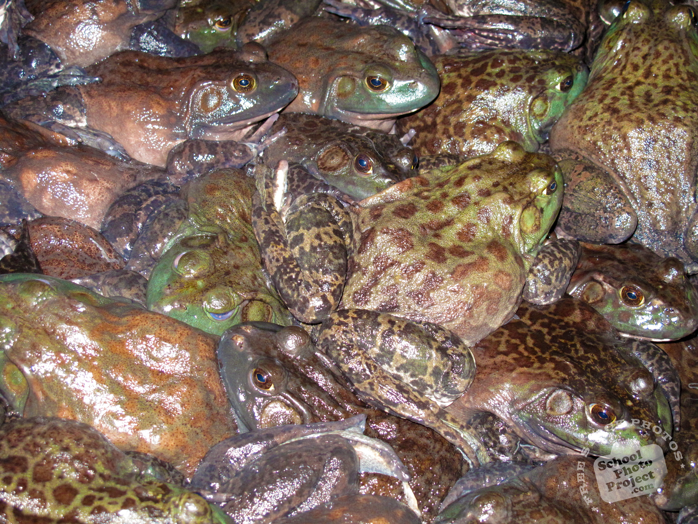 frogs free stock photo image picture toads amphibian royalty