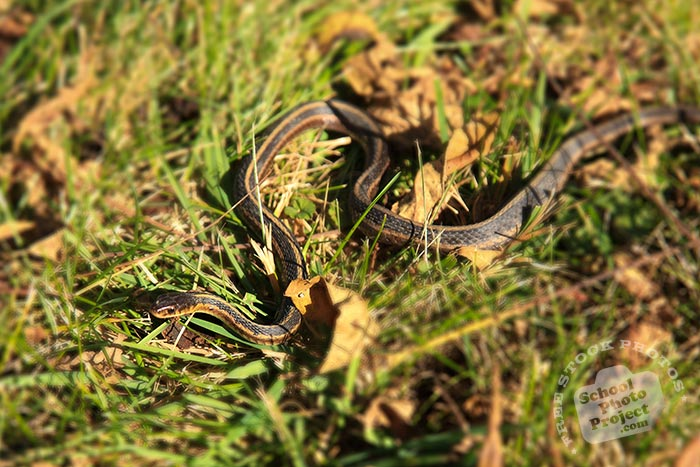 snake, Eastern Ribbon snake, non venomous snake, garden snake, wild snake, free animal stock photo, royalty-free image