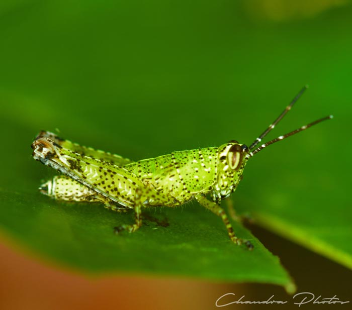 grasshopper, grasshopper rests on leaf, insect, macro photography, green leaves, free insect stock photo, royalty-free image, Chandra Photos
