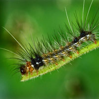 hairy caterpillar, insect, macro photography, free photo, stock photo, free picture, royalty-free image