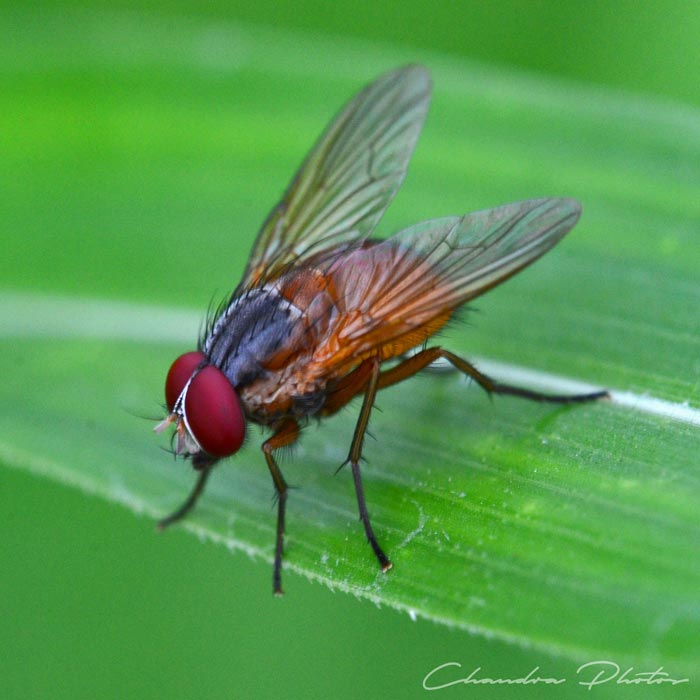 fly, housefly, house fly, fly rests on leaf, pest insect, macro photography, green leaves, free insect stock photo, royalty-free image, Chandra Photos