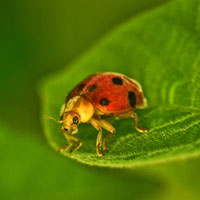 ladybug, insect, macro photography, free photo, stock photo, free picture, royalty-free image