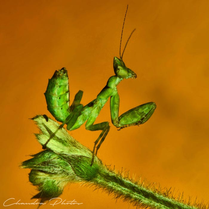 mantis, praying mantis, insect, macro photography, green leaves, free insect stock photo, royalty-free image, Chandra Photos