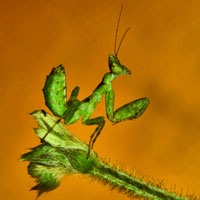 mantis, insect, macro photography, free photo, stock photo, free picture, royalty-free image