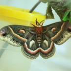 cecropia moth, insect hatches, free animal stock photo, royalty-free image