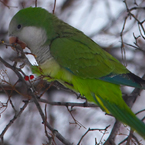 monk parakeet, parakeet, parakeet photo, green parakeet, bird, bird photo, green parakeet, wild bird, photo, free photo, stock photos, royalty-free image