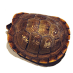 tortoise, turtle, turtle shell, pet turtle, pet, animal, photo, free photo, stock photos, royalty-free image