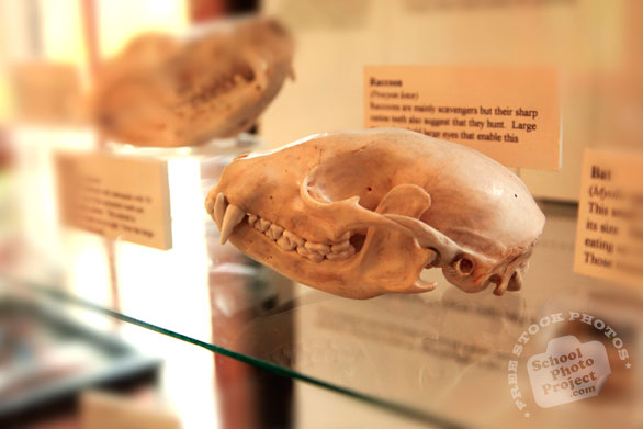 raccoon skull, free animal stock photo, royalty-free image
