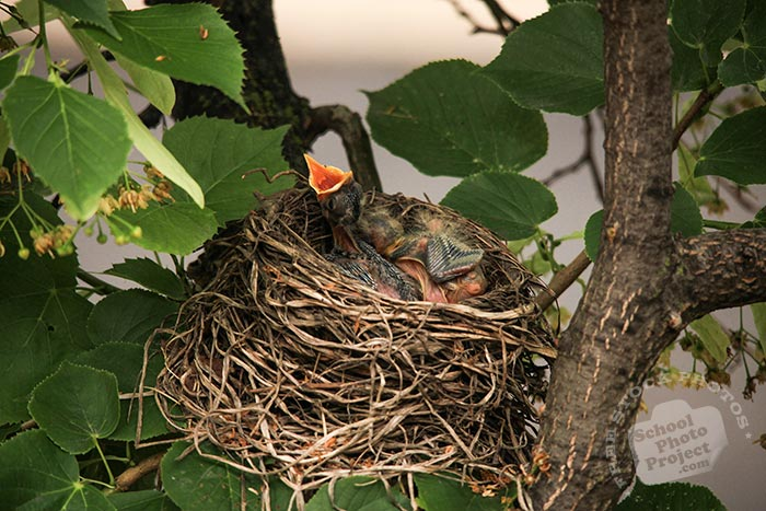 robin bird chicks, baby American robin, hungry robin chicks, robin's nest, bird nest, tree, green leaves, free animal stock photo, royalty-free image