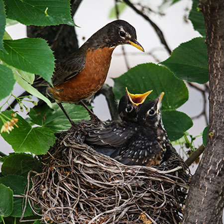 baby robin, robin's nest, American robin, free photo, royalty-free image