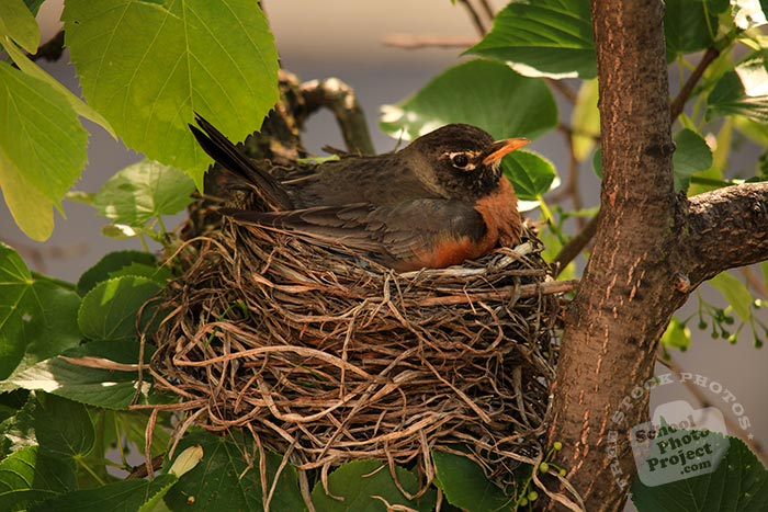 robin bird, American robin, robin incubates eggs, robin in her nest, wild robin bird, female robin, free animal stock photo, royalty-free image