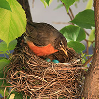 robin bird, robin in her nest, female robin, robin eggs, blue eggs, wild bird, free animal stock photo, royalty-free image