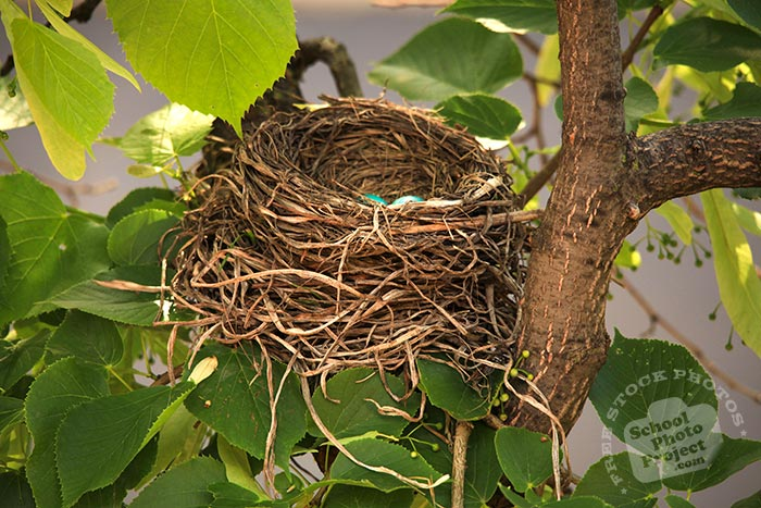 robin bird, American robin, robin's nest, robin's blue eggs, bird nest, tree, green leaves, free animal stock photo, royalty-free image