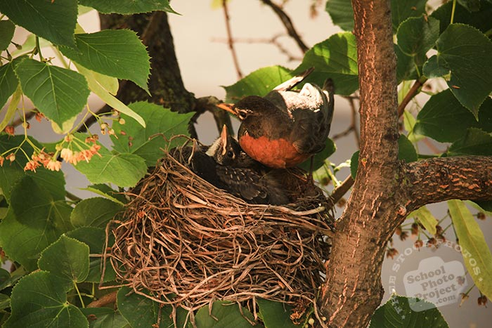 robin bird, robin bird tending her chicks, American robin family, baby robins, robin's nest, bird nest, tree, green leaves, free animal stock photo, royalty-free image