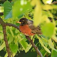 robin bird, robin on tree branch, female robin, wild bird, free animal stock photo, royalty-free image
