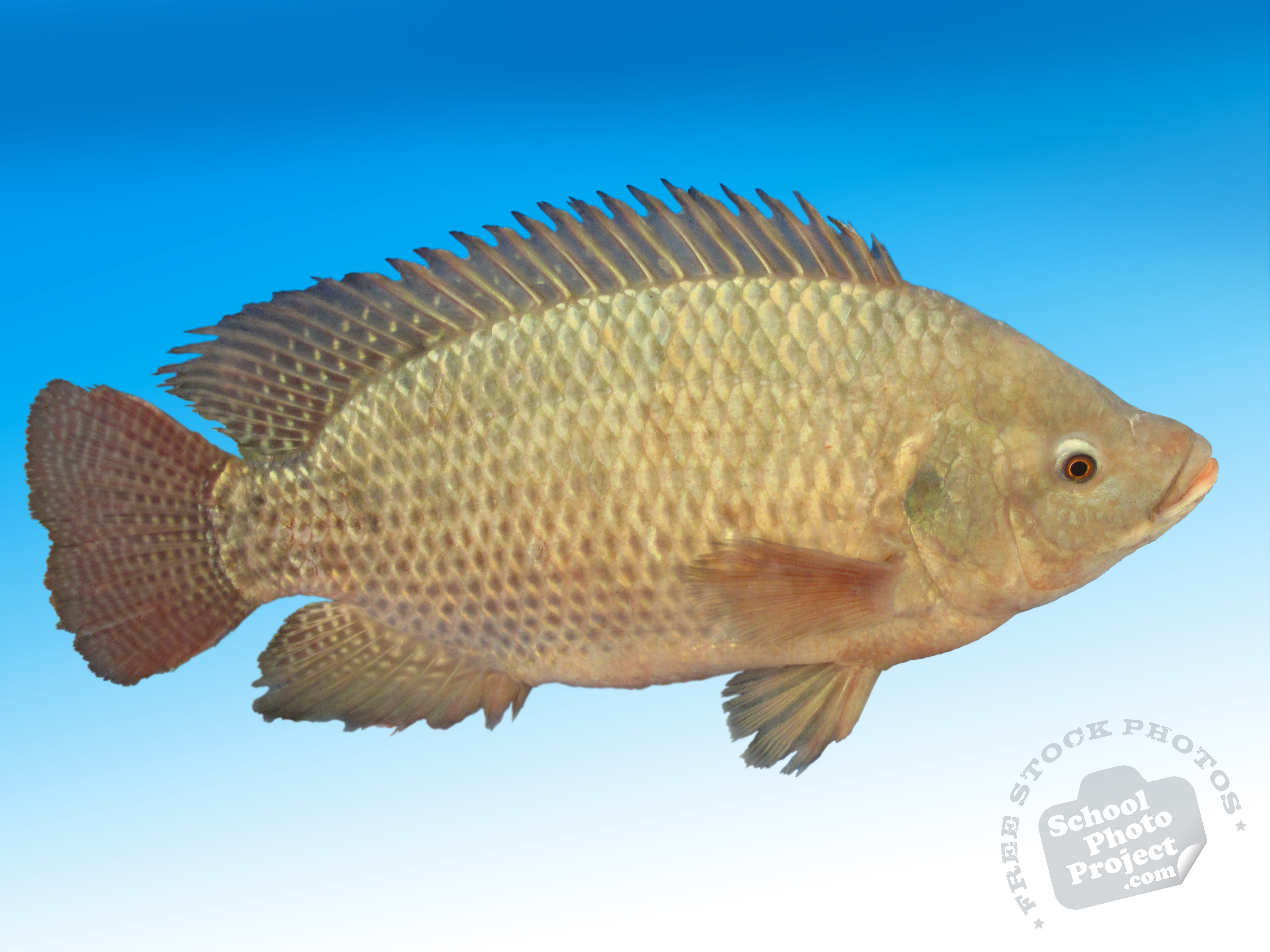 Tilapia free stock photo image picture adult tilapia for What is tilapia fish