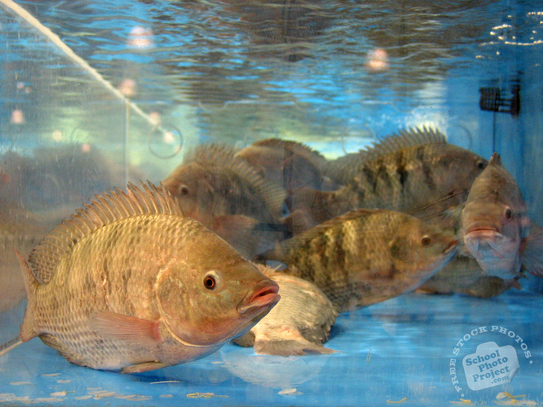 Tilapia fish free stock photo image picture tilapias for What is tilapia fish
