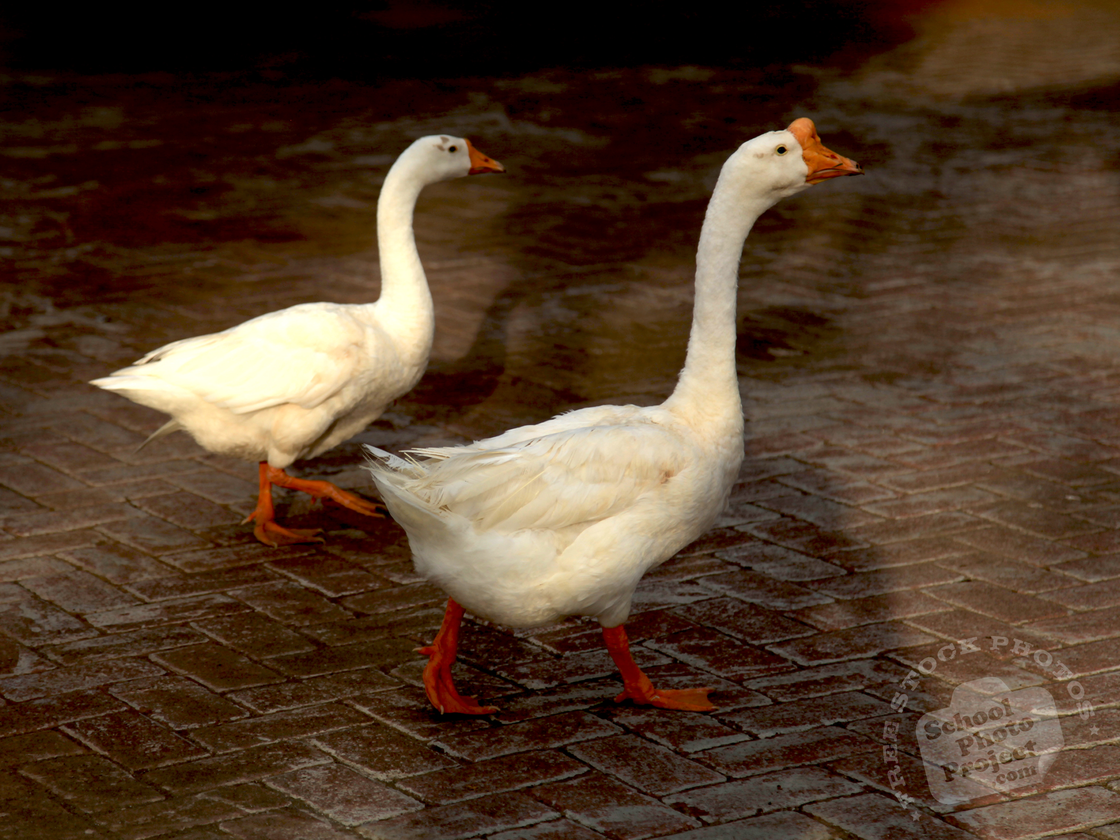 geese free stock photo image picture white geese royalty free