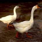 goose, geese, wild geese, white goose, a gaggle of geese, goose photo, geese picture, bird, animal, photo, free photo, stock photos, royalty-free image, free download image