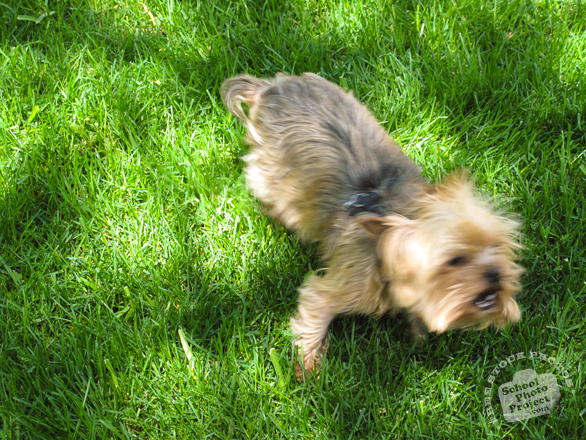 yorkshire terrier, dog, dog breed, dog photo, canine, pet, animal, photo, free photo, stock photos, royalty-free image