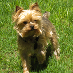 yorkshire terrier, pet dog, breed dog, free stock photo, free image, royalty-free picture