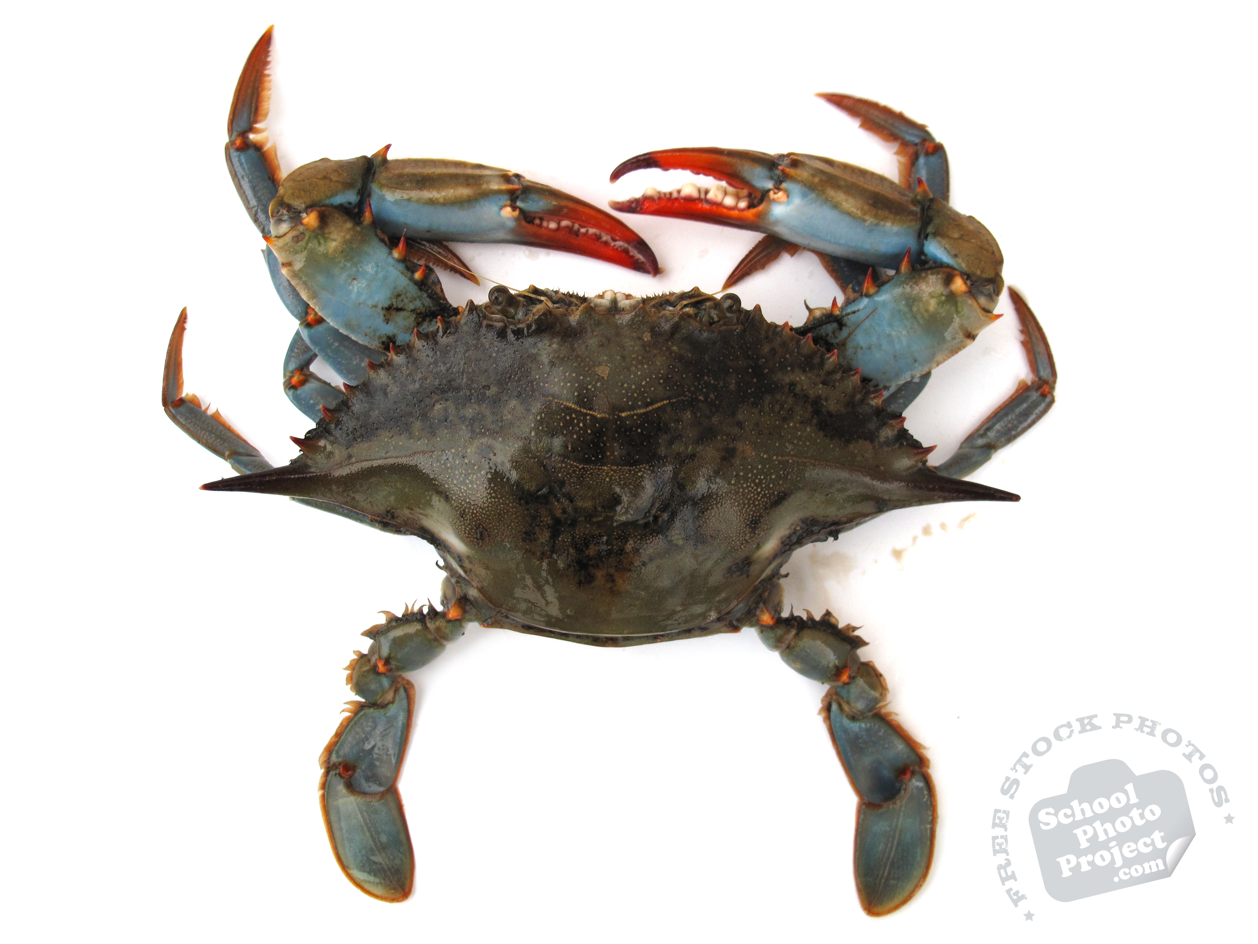 blue crab Steaming your crab catch is one of the easiest and tastiest ways to cook your catch this recipe calls for blue crabs as the main ingredient and a healthy dose of old bay seasoning try on this lip-smacking recipe that will serve you and your whole family (up to 6 servings) ingredients: 36 live blue.