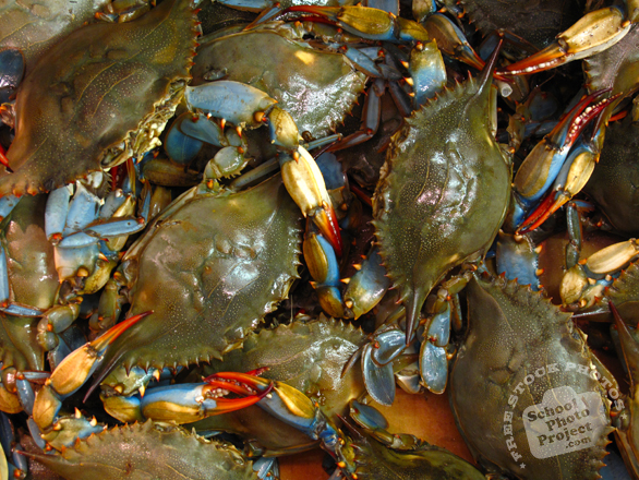 blue crab, crab, blue crab photo, crab picture, seafood, free foto, free photo, stock photos, picture, image, free images download, stock photography, stock images, royalty-free image