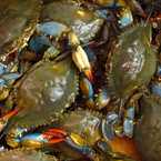 blue crab, crab, crab photo, fish, seafood, animal, photo, free photo, stock photos, royalty-free image