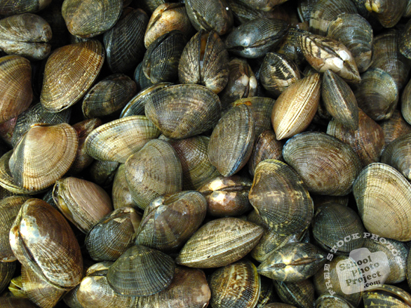 clams, clam shells, molluscs, seafood, animal, free foto, free photo, stock photos, picture, image, free images download, stock photography, stock images, royalty-free image