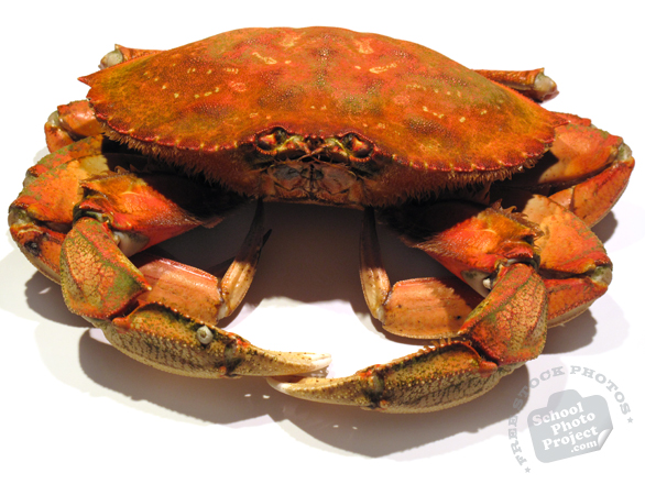 dungeness crab, crab photo, dungeness crab photo, seafood, free foto, free photo, stock photos, picture, image, free images download, stock photography, stock images, royalty-free image