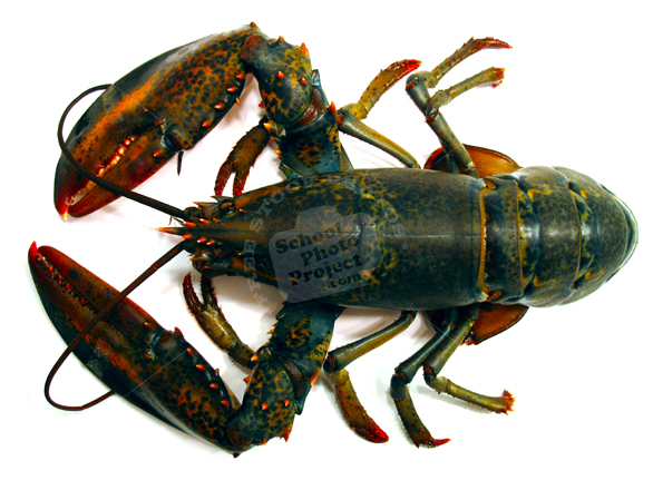 lobster, lobster photo, seafood photo, seafood, free foto, free photo, stock photos, picture, image, free images download, stock photography, stock images, royalty-free image