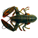 lobster, crab, lobster photo, fish, seafood, animal, photo, free photo, stock photos, royalty-free image