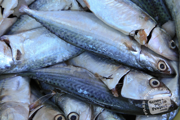 mackerel, pelagic fish, saltwater fish, seafood, free stock photo, picture, free images download, stock photography, royalty-free image