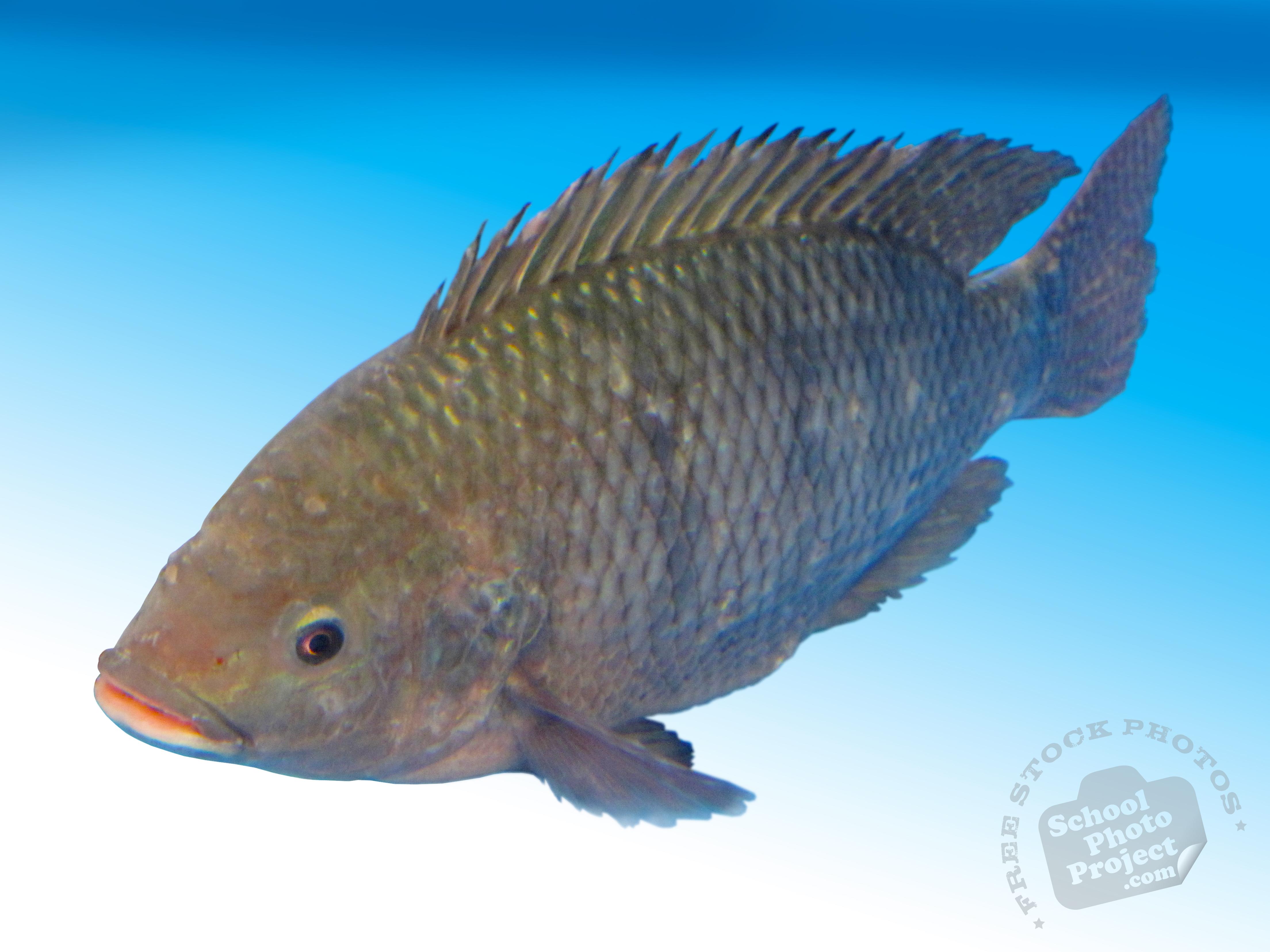 Tilapia Live Fish Seafood Free Foto Photo Stock Photos