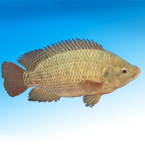 fish, tilapia picture, free stock photo, royalty-free image
